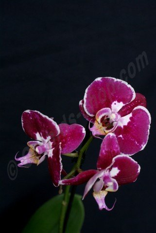 Phalaenopsis Black Diamond