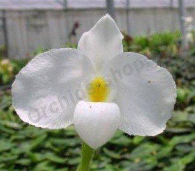 Paphiopedilum delenatii var. alba