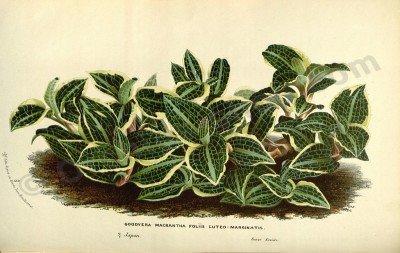 Goodyera macrantha
