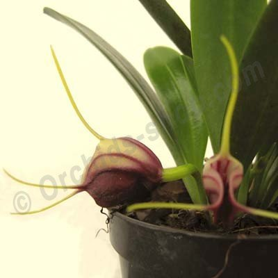 Masdevallia curtipes