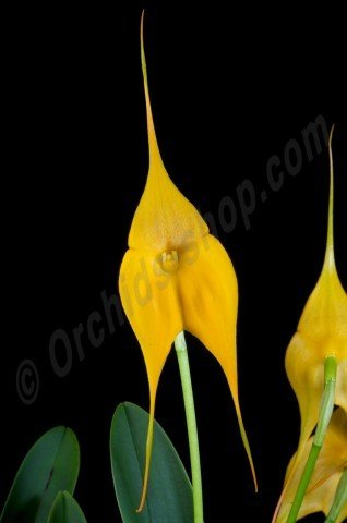 Masdevallia Highland Yellowhing
