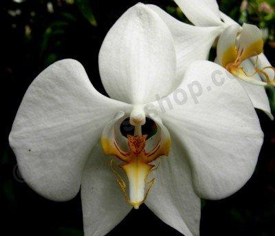 phalaenopsis amabilis var. Palawan