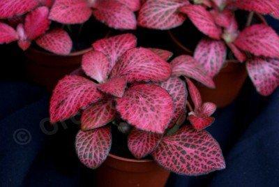 Fittonia Mosai Pink Diamond