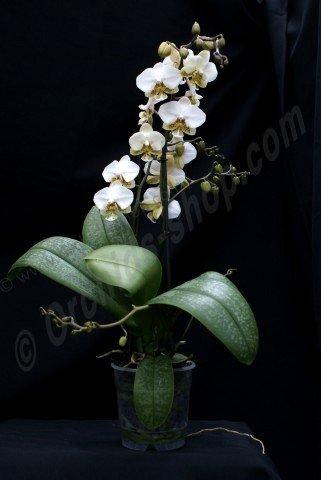 Phalaenopsis stuartiana Pico Chip