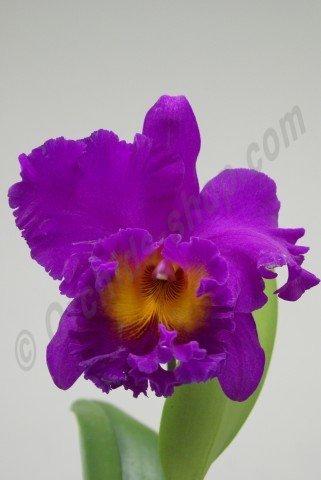 "Blc. Pink Violet Empress ""Bright Sun"""