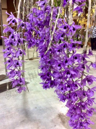 Dendrobium parishii coerulea