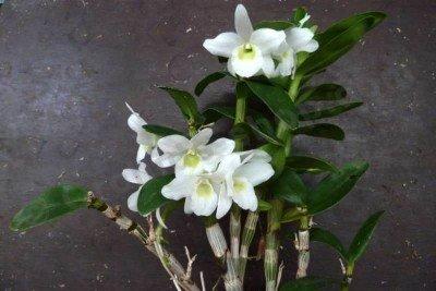 """Dendrobium Hybrid """"Pocket Lover"""""""