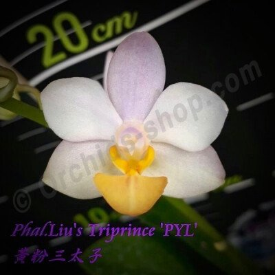 "Phalaenopsis Liu's Triprince ""Yellow Lip"""