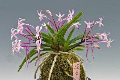 Neofinetia falcata`Shutenno` Pink (朱天王)