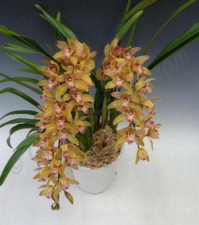 "Cymbidium Joan Taylor ""Million Kiss"""