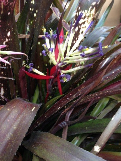 "Billbergia Hallelujah ""Brown Type Big"""