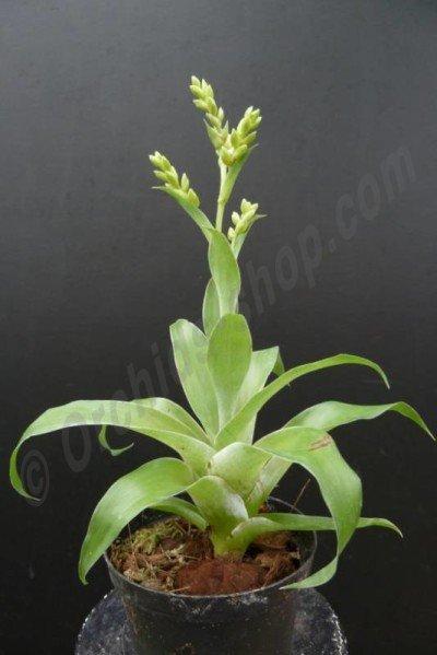 Catopsis morreniana