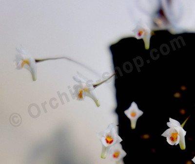 Conchidium (Eria) extinctorium