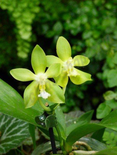 Phalaenopsis Tsay's Evergreen
