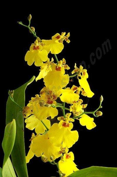 Oncidium Sweet Sugar (Harlekijnorchide)