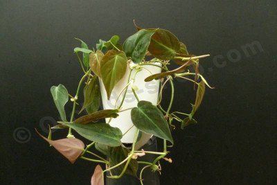 """Philodendron scandens (hederaceum) """"Micans"""" (melanochrysum)"""