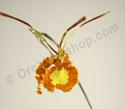 "Psychopsis Butterfly ""Big"""