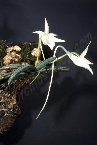 """Angraecum aloifolium """"Big"""""""