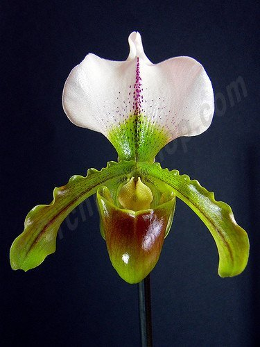 Paphiopedilum Leeanum