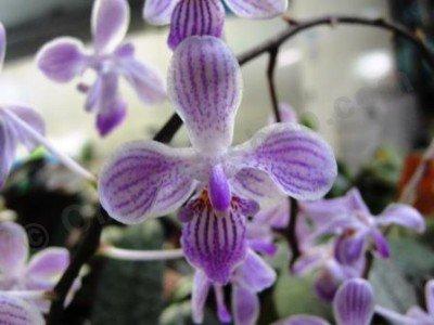 Phalaenopsis Silbergrube x lindenii