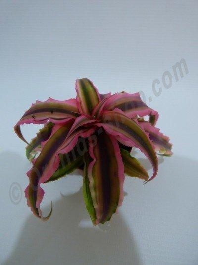"""Cryptanthus bivittatus """"Green/Pink""""  (1+1 gratis, zolang de voorraad strekt)"""