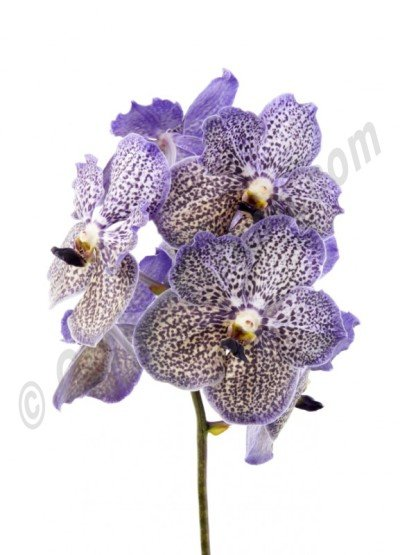 "Vanda Moonlight ""Blue"""