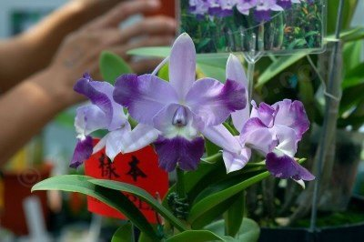 "Lc. Cariads Mini Quinee ""Angel Kiss"""