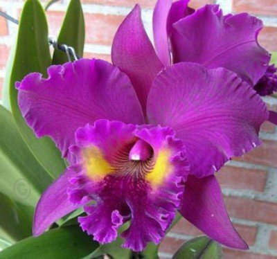 "Blc. King of Taiwan ""Chang Ju Big"""