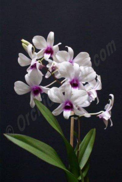 Dendrobium affine