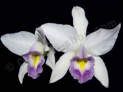 Laelia anceps var. veitchiana