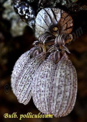 Bulbophyllum polliculosum