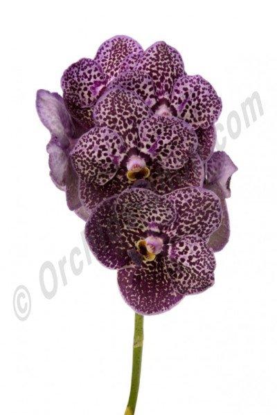 Vanda Deep Purple Spots