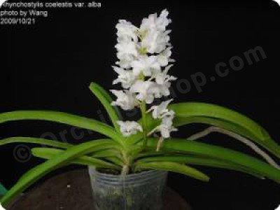 "Rhynchostylis coelestis ""Alba"""