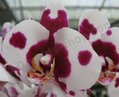 Phalaenopsis Taiwan Butterfly`ORCHIS`