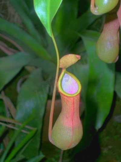 Nepenthes alata
