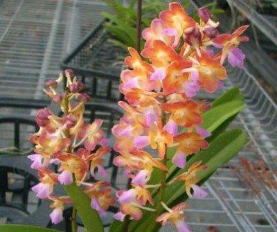 "Rhrds. Bangkok Sunset ""Fragrance"""