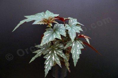 "Begonia acontifolia ""Sophie Cecile Big"""