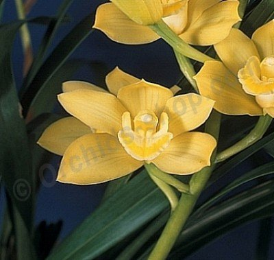 "Cymbidium Pauwelsii alba 4N ""New Horizon"""