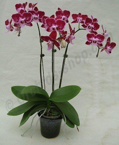 Phalaenopsis Sogo Black