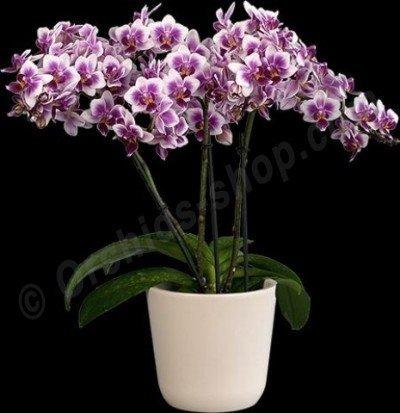 Phalaenopsis SOGO Twinkle Abudance