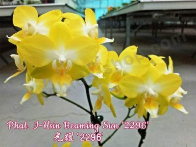 Phalaenopsis I-Hsin Beaming Sun '2296'