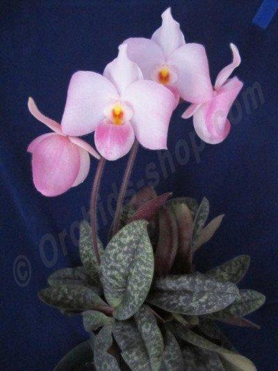 """Paphiopedilum delenatii """"Giant Flower Type"""""""