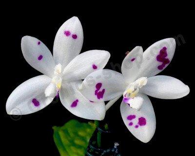 "Phalaenopsis speciosa ""Spot #1"""