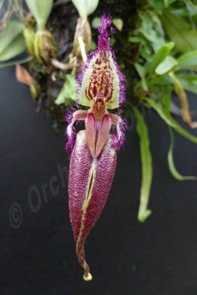 Bulbophyllum (Mastigion) fascinator