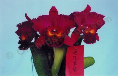 "Blc. Sanyung Ruby ""Grand Dragon"""