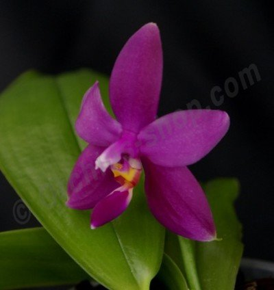 "Phalaenopsis violacea var. Sumatra ""Big"""