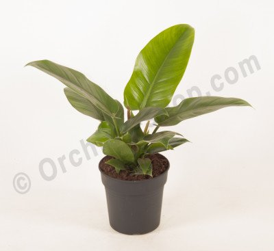 "Philodendron Imperial Green ""Big Plant"""