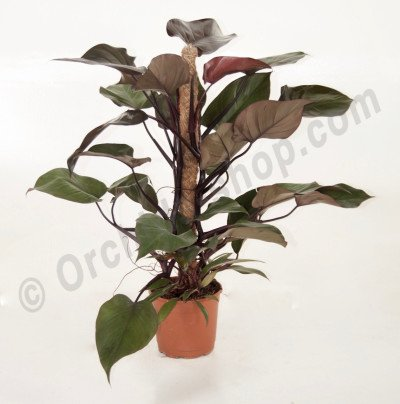 Philodendron Royal Queen mosstok