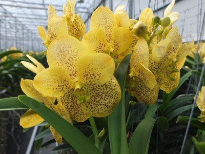 Vanda yellow magic