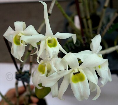 Dendrobium wilsonii